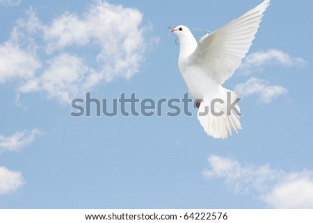Beautiful white dove in flight.