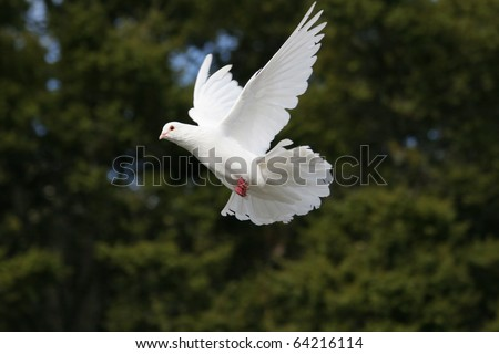 Beautiful white dove in flight, dark green tree background