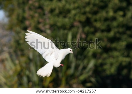 Beautiful white dove in flight, green tree background