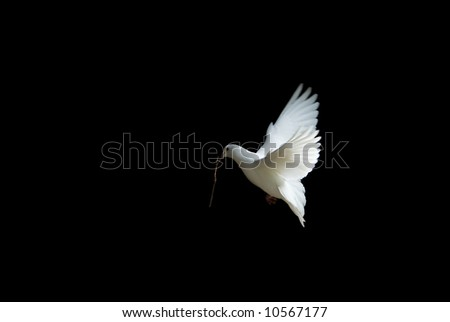 beautiful white dove in flight, holding a small branch to build a nest in spring
