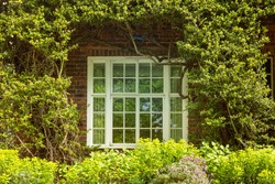 Beautiful white English casement window surrounded by green old climber plant and hedge. Red brick wall afacde in the background. Typical British architecture detail in the spring.