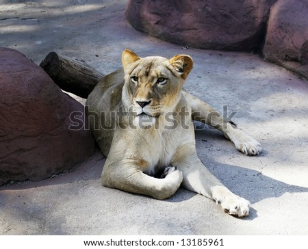 beautiful white female lion
