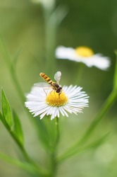 Beautiful white flower and a hoverfly. Episyrphus balteatus, sometimes called the marmalade hoverfly, is a relatively small hoverfly (9-12 mm) . Shot in Japan.