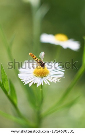 Beautiful white flower and a hoverfly. Episyrphus balteatus, sometimes called the marmalade hoverfly, is a relatively small hoverfly (9-12 mm) . Shot in Japan.                                Stockfoto ©