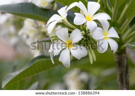 Beautiful white flower in thailand, Lan thom flower