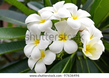 Beautiful white flower in thailand, Lan thom flower