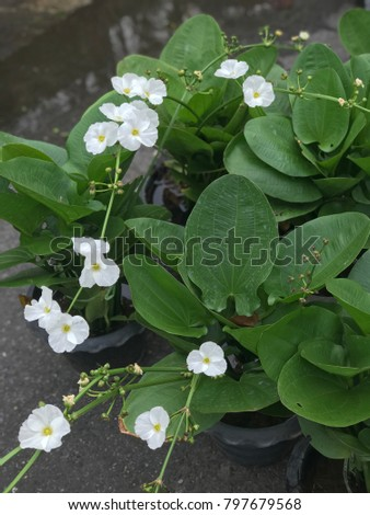 Beautiful white flower of arrowhead plant.