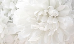 beautiful white flowers background, close up white flower petals