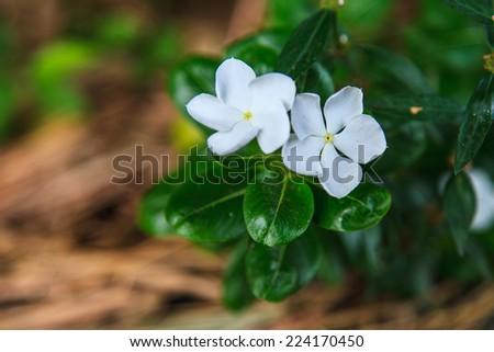 Beautiful white flowers(Gardenia)