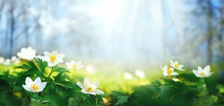Beautiful white flowers of anemones in spring on background of blue sky and forest in sunlight in nature. Spring morning forest landscape with flowering primroses.
