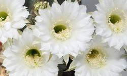 Beautiful white flowers of cactus