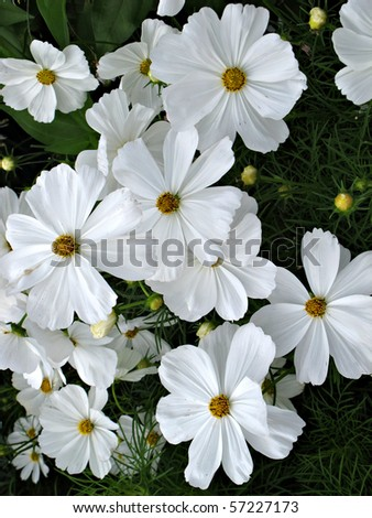 Beautiful white flowers with yellow centers.