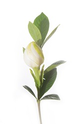Beautiful white gardenia and bud with leaves isolated on wooden background