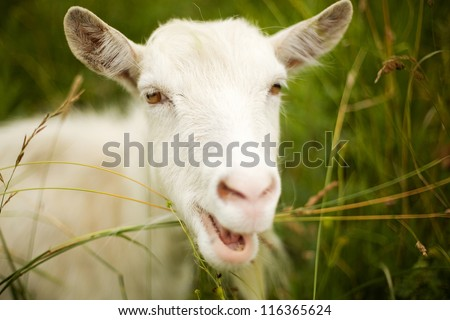 beautiful white goat in the green grass