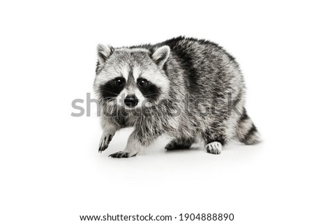 Beautiful white grey raccoon looking at camera isolated over white background. Stock photo ©