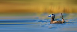 Beautiful White-headed Duck