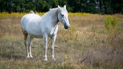 beautiful white horse on dry grass in the field. Arabian horse, white horse stands in an agriculture field with dry grass in sunny weather. strong, hardy and fast animal.