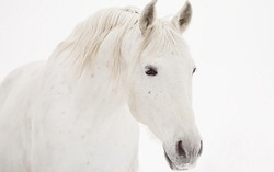 Beautiful white horse with a white mane.