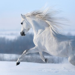 Beautiful white horse with long mane galloping across winter snowy meadow.