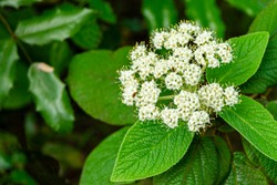 Beautiful white inflorescences of viburnum leatherleaf (Viburnum rhytidophyllum Alleghany) on blurry dark green background garden. Selective focus. Close-up. Nature concept for natural design.