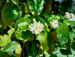 Beautiful white Jasmine flower (also called  Jasminum flower) is growing. Horizontal, landscape picture. Close up photo of fresh flower with green leaves. Jasmine flower plant