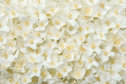 Beautiful white jasmine flowers as background, top view