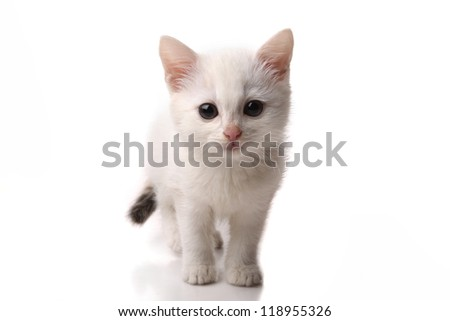 beautiful white kitten on a white background