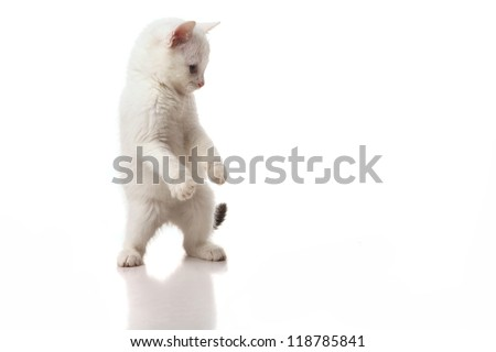 beautiful white kitten playing on a white background