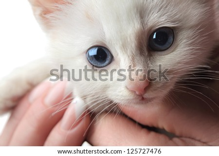 beautiful white kitten with blue eyes