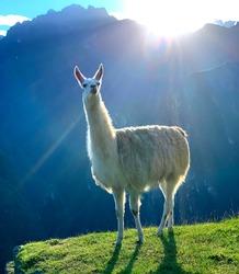 Beautiful white lama in rays of rising sun on slope Machu Picchu, Peru. Adorable animal llama at sunrise. Lamas-famous national peruvian symbol. Llama glama is domesticated South American camelid.