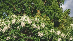 Beautiful white lilac inflorescences with green foliage. Spring flowering of trees. Green big oak branches in background