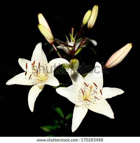 Beautiful White Lily flowers on a black background