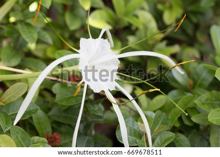 free photos crinum lily cape lily poison bulb or spider lily