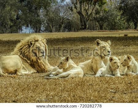 Beautiful White Lion Family