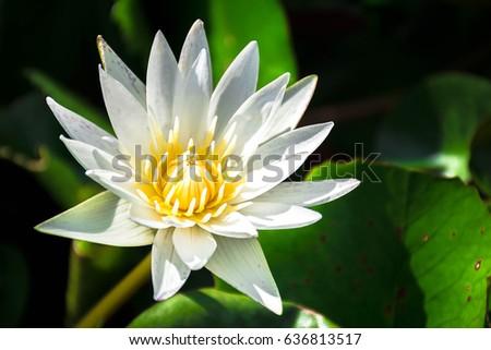 Beautiful white lotus blossom #636813517