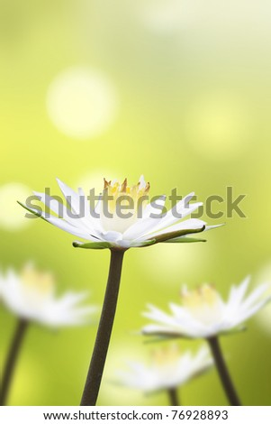 Beautiful white lotus flower with natural background