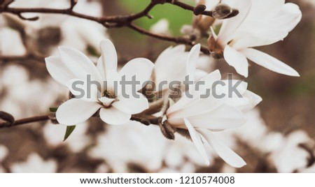 Beautiful White Magnolia Flowers Blossom on Magnolia Tree in Garden, Spring Winter Time, Toned Photo