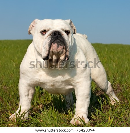 Beautiful white male english bulldog standing in the grass