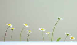 Beautiful white marguerites and a bright yellow center on a on a light gray background, copy space