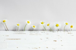 Beautiful white marguerites and a bright yellow center on a on a light gray background, copy space, close up