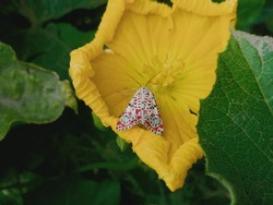 beautiful white moth with red and black spots