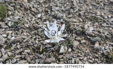 Beautiful white mountain flower blossom  Stok fotoğraf ©