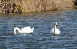 beautiful white mute swan (Cygnus olor) swimming on the water and other one diving for food