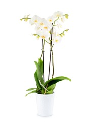 Beautiful white orchid in a pot isolated on white background with shadow. Tropical orchid in a flowerpot on white background.