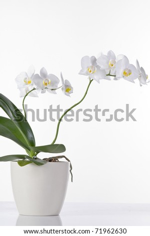 Beautiful white orchid in a pot  isolated over white background
