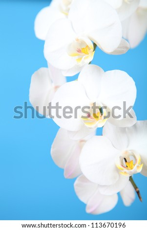 Beautiful white orchid on a blue background closeup