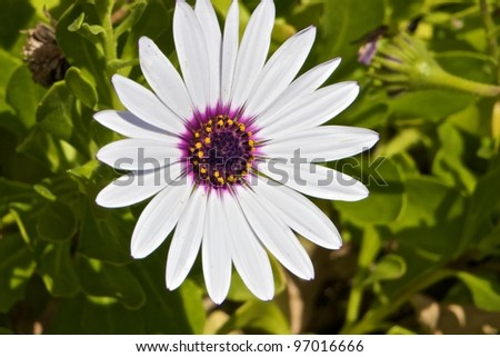 Beautiful White Osteospermum Asti surrounded by greenery
