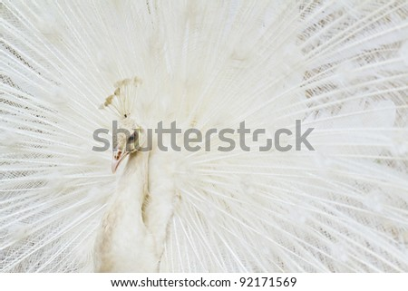 Beautiful white peacock in full ornament