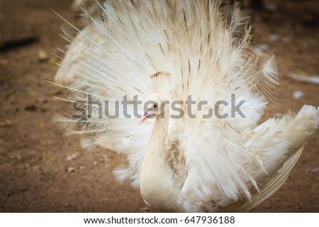 Shutterstock Beautiful white peafowl with feathers out. White male peacock with spread feathers. Albino peacock with fully opened tail.