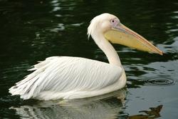 Beautiful white pelican in water